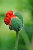 Бутон цветка мака Стоковые Изображения