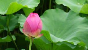 Бутон цветка лотоса акции видеоматериалы