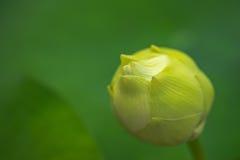 Бутон цветка лотоса Стоковые Изображения RF