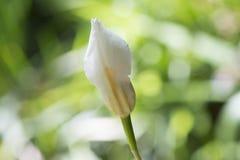 Бутон цветка Dietes Grandiflora, большая одичалая радужка, Fairy радужка Стоковое Изображение RF