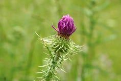 Бутон цветка Thistle Стоковая Фотография