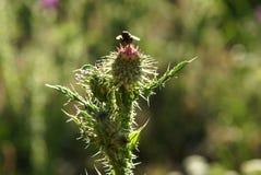 Бутон цветка Thistle Стоковое Изображение