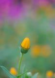 Бутон calendula Стоковые Фотографии RF