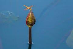 Бутон Dragonfly и лотоса Стоковое Изображение