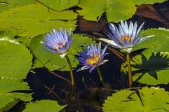 Бутон Lillies воды с плавая зеленым цветом выходит предпосылка стоковая фотография rf