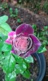 Бутон Meroon розовый Стоковые Фото