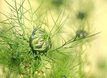 Бутон Nigella Damascena Стоковое Изображение RF