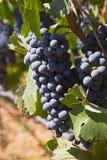 бутылка достаточные виноградины делает красный цвет для того чтобы wine Стоковая Фотография RF