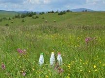 3 бутылки и коровы молока Стоковая Фотография
