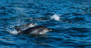 Бутылк-обнюханные дельфины в заливе Algoa, Port Elizabeth стоковые изображения