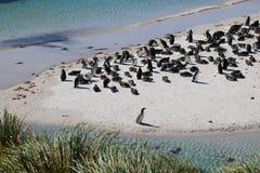 Бухта колонии пингвина Magellanic цыганская, Falklands Стоковое Изображение RF