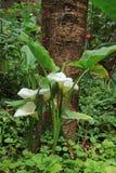 Буш белых цветков лилии Calla перед большим деревом в саде, регион Amazonas, северное Перу стоковая фотография rf