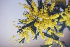 Буш желтой мимозы на свете - голубой предпосылке Стоковое Изображение