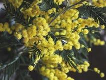 Буш желтой мимозы на темной предпосылке Стоковые Фото