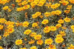 Буш желтых маргариток Стоковое Изображение RF