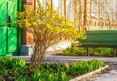 Буш желтого forsythia цветет против стены с окном и стендом Стоковая Фотография RF