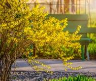 Буш желтого forsythia цветет против стены с окном и стендом Стоковое фото RF