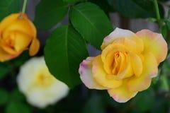 Буш желтых роз в саде Стоковые Изображения RF