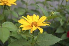 Буш желтых camomiles стоковое фото
