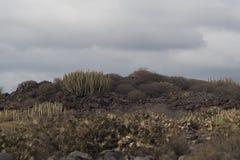 Буш кактусов на долине Стоковая Фотография RF