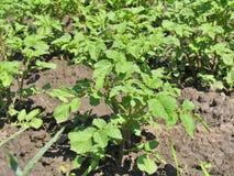 Буш картошки Стоковые Фото