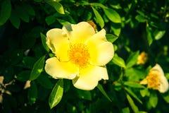 Буш красивых желтых собак-роз в саде Стоковые Изображения RF