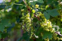 Буш красной смородины с незрелыми ягодами и листьями зеленого цвета стоковые фотографии rf