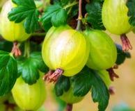 Буш крыжовников с ягодами Стоковые Изображения RF