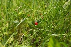 Буш клубники в поле Стоковые Фото