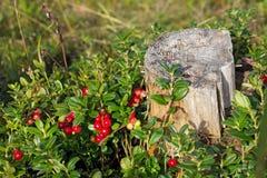 Буш клюкв вокруг старого пня в лесе Стоковое Изображение RF