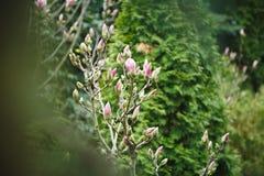 Буш магнолии в саде против детенышей весны цветка принципиальной схемы предпосылки белых желтых Стоковое фото RF