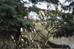 Буш магнолии в саде против детенышей весны цветка принципиальной схемы предпосылки белых желтых Стоковое Изображение