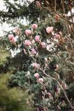 Буш магнолии в саде против детенышей весны цветка принципиальной схемы предпосылки белых желтых Стоковые Изображения RF