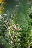 Буш магнолии в саде против детенышей весны цветка принципиальной схемы предпосылки белых желтых Стоковая Фотография