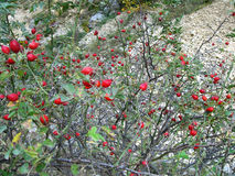 Буш плода шиповника Стоковая Фотография RF