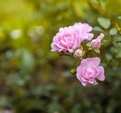 Буш розового макроса квадрата дня роз Стоковые Изображения