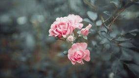 Буш розовых роз, макрос Instagran горизонтальный Стоковое Изображение