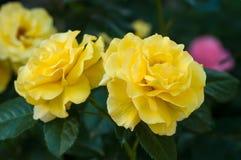 Буш свежих желтых роз зацветает в саде Стоковые Фотографии RF