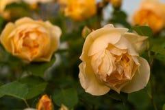 Буш свежих желтых роз зацветает в саде Стоковое фото RF