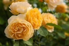 Буш свежих желтых роз зацветает в саде Стоковые Изображения RF