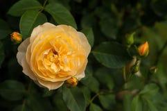 Буш свежих желтых роз зацветает в саде Стоковое Фото