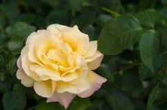 Буш свежих желтых роз зацветает в саде Стоковое Изображение