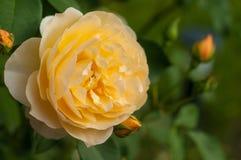Буш свежих желтых роз зацветает в саде Стоковые Изображения