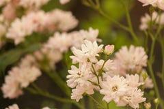 Буш света - розовых взбираясь роз Чувствительный флористический свет - розовая предпосылка Ветвь курчавого подняла Стоковые Изображения RF