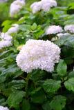 Буш с белыми цветками Стоковые Изображения RF