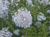 Буш с белыми цветками и бутонами Стоковая Фотография