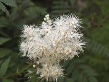 Буш с белыми цветками Стоковая Фотография