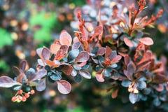 Буш с голубыми и бургундскими листьями Стоковые Фотографии RF