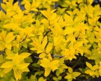 Буш с желтыми листьями Стоковые Изображения