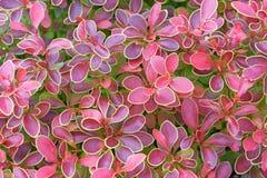 Буш с красными листьями Стоковые Изображения